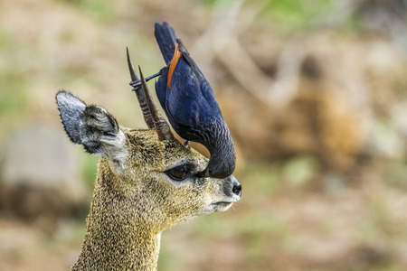 red winged: Specie Onychognathus morio family of sturnidae and Oreotragus oreotragus, red winged starling and klipspringer Stock Photo