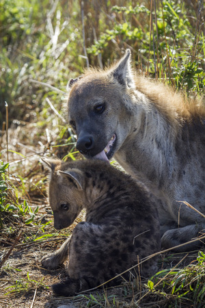 Specie Crocuta crocuta family of Hyaenidae, spotted hyaena and its baby
