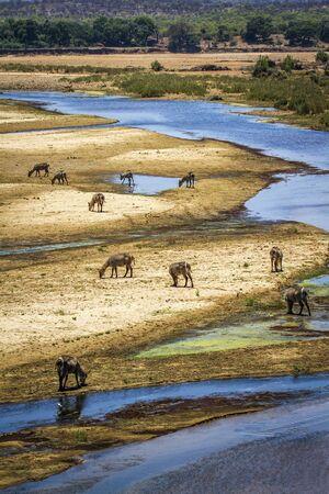 bovidae: Specie Kobus ellipsiprymnus family of bovidae, waterbucks in the riverbank, kruger