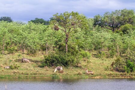 Specie Kobus ellipsiprymnus family of bovidae, landscape and waterbuck in Kruger