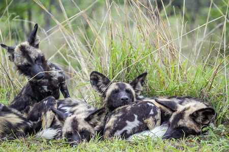 painted dog: Specie Lycaon pictus family of canidae, family of african wild dogs in Kruger