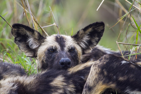 lycaon pictus: Specie Lycaon pictus family of canidae, african wild dog in Kruger
