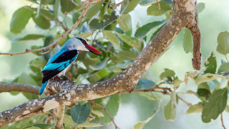 alcedinidae: Specie Halcyon senegalensis family of Alcedinidae, Angola Kingfisher on a branch