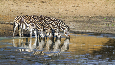 burchell: specie Equus quagga burchellii family of equidae, group of Burchell zebras drinking in Kruger Park