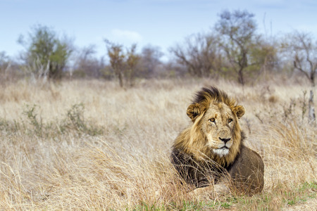 felidae: Specie Panthera leo family of felidae, wild male lion in savannah, kruger park Stock Photo