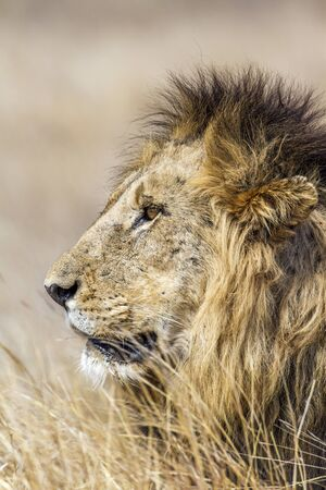 specie: Specie Panthera leo family of felidae,  portrait of a wild male lion in Kruger Park, South Africa