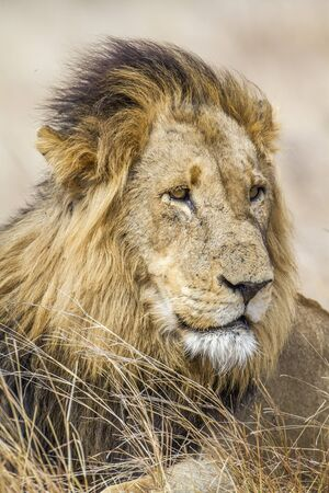 felidae: Specie Panthera leo family of felidae,  portrait of a wild male lion in Kruger Park, South Africa