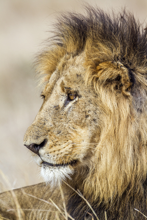 panthera leo: Specie Panthera leo family of felidae, portrait of a wild male lion in Kruger Park, South Africa