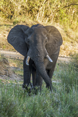 loxodonta: Specie Loxodonta africana family of Elephantidae, wild african bush elephant in the riverbank