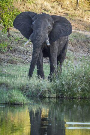 specie: Specie Loxodonta africana family of Elephantidae, wild african bush elephant in the riverbank