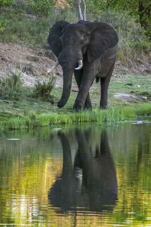 loxodonta africana: Specie Loxodonta africana family of Elephantidae, wild african bush elephant in the riverbank