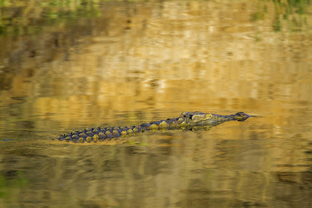 niloticus: Specie Crocodylus niloticus family of Crocodylidae, Nile crocodile in a river in golden color Kurger park