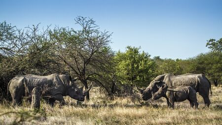 specie: Specie Ceratotherium simum simum family of Rhinocerotidae, southern white rhinoceros in the bush in Kruger Park