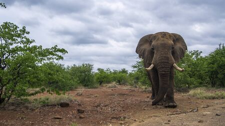 specie: Specie Loxodonta africana family of Elephantidae, angry african bush elephant in savannah