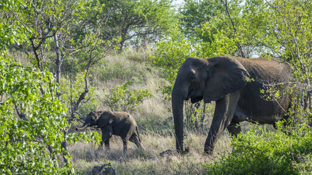 kruger park: Specie Loxodonta africana family of Elephantidae, African bush elephant in the bush in Kruger park