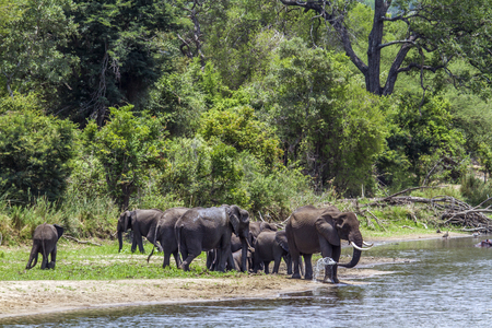 loxodonta africana: Specie Loxodonta africana family of Elephantidae, big group of african bush elephants in the riverbank
