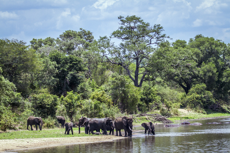 africana: Specie Loxodonta africana family of Elephantidae, big group of african bush elephants in the riverbank