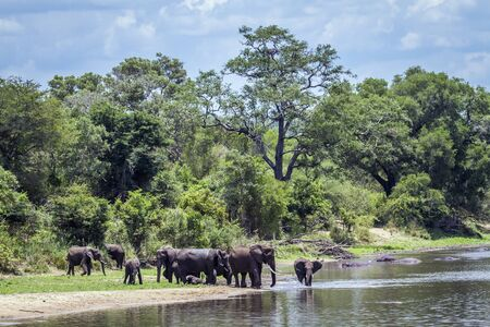 specie: Specie Loxodonta africana family of Elephantidae, big group of african bush elephants in the riverbank