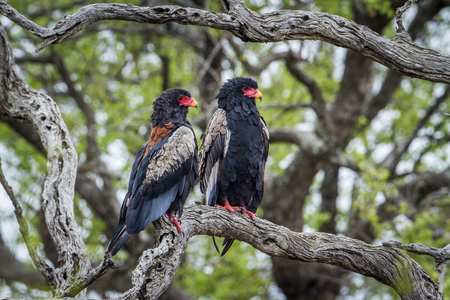 kruger park: Specie Terathopius ecaudatus family of Accipitridae, Bateleur eagles on a branch in Kruger Park