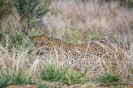 panthera pardus: Specie Panthera pardus family of felidae, wild leopard in the bush in Kruger Park Stock Photo