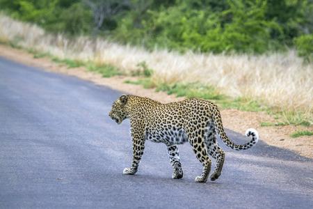 felidae: Specie Panthera pardus family of felidae, wild leopard crossing the road in Kruger Park