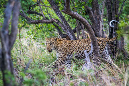 kruger park: Specie Panthera pardus family of felidae, wild leopard in the bush in Kruger Park Stock Photo