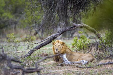 specie: Panthera leo specie of felidae family, wild lion male in the bush in Kruger Park