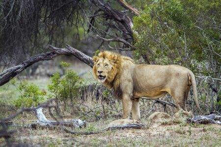 felidae: Panthera leo specie of felidae family, wild lion male in the bush in Kruger Park