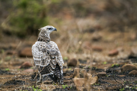 accipitridae: Specie Polemaetus bellicosus family of Accipitridae, Marshall eagle in Kruger Park