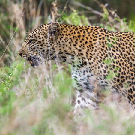 pardus: Specie Panthera pardus family of felidae, wild leopard in the bush in Kruger Park Stock Photo