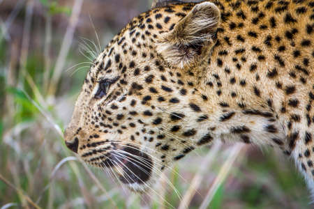 felidae: Specie Panthera pardus family of felidae, wild leopard in the bush in Kruger Park Stock Photo