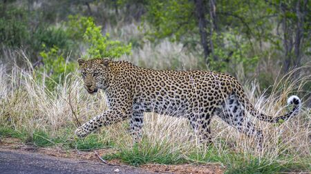 felidae: Specie Panthera pardus family of felidae