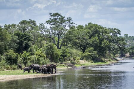 specie: Specie Loxodonta africana family of Elephantidae, group of African bush elephants in the riverbank