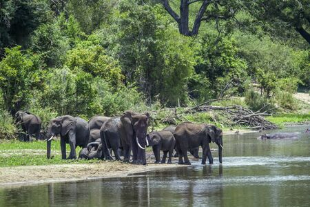 loxodonta: Specie Loxodonta africana family of Elephantidae, big group of African bush elephants in the riverbank Stock Photo