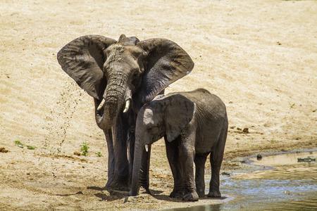 Specie Loxodonta africana family of Elephantidae, two african bush elephants in Kruger Park