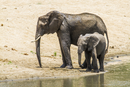 loxodonta africana: Specie Loxodonta africana family of Elephantidae, mother and baby african bush elephant in Kruger Park Stock Photo