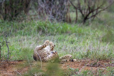 felidae: Specie Acinonyx jubatus family of felidae, cheetah playing in savannah Kruger