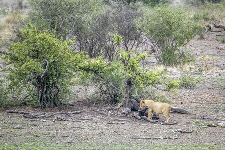 felidae: Specie Panthera leo family of felidae, lion in Kruger Park