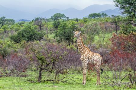 giraffa camelopardalis: Specie family of Giraffe Giraffa camelopardalis, wild giraffe in green savannah