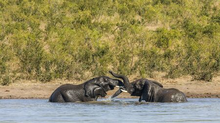 kruger park: two wild african bush elephants playing in the river, in Kruger park Stock Photo