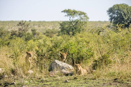 kruger park: three female lions hiding in the bush, Kruger park