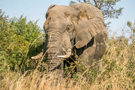 kruger park: portrait of a wild male african bush elephant, in Kruger park