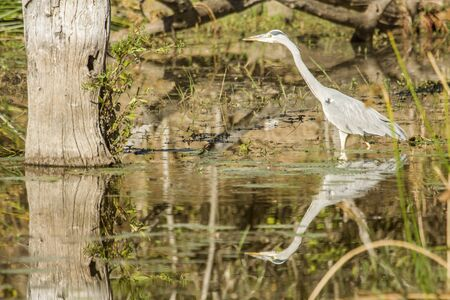 kruger park: gray heron fishing in a pond in Kruger Park