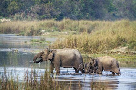 subcontinent: specie Elephas maximus family of Elephantidae