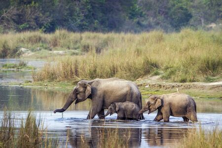 specie Elephas maximus familie van Elephantidae