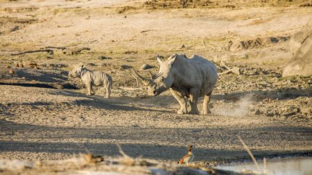 poaching: mother and baby white rhinoceros in Kruger National Park