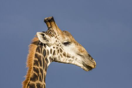 portrait of a wild giraffe in Kruger Park, South Africa