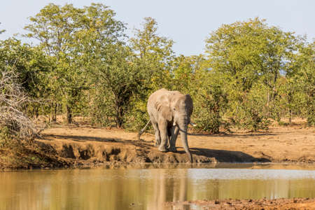 african bush elephant driking in the riverbank,, kruger park