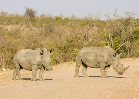 two african white rhinoceros on a trail in Kruger park