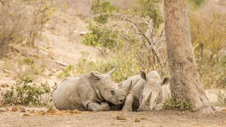 two african white rhinoceros sleeping in savannah